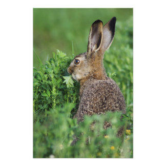 Brown Hare, Lepus europaeus, young eating, Photo Print
