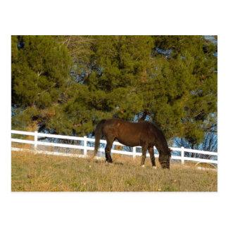 Brown Horse Grazing Postcard