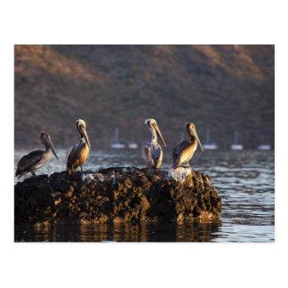Brown pelicans on rock in Puerto Escondido near Postcard