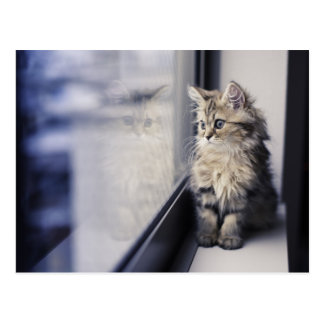 Brown Persian Kitten Looking Out Window Postcard
