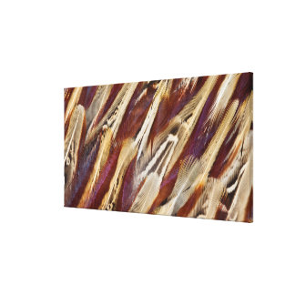 Brown Ring-Necked Pheasant Feathers Canvas Print