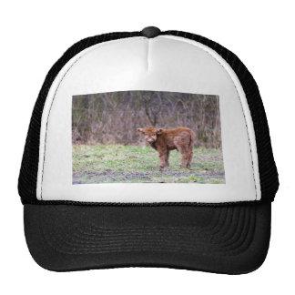 Brown scottish highlander calf in meadow trucker hat
