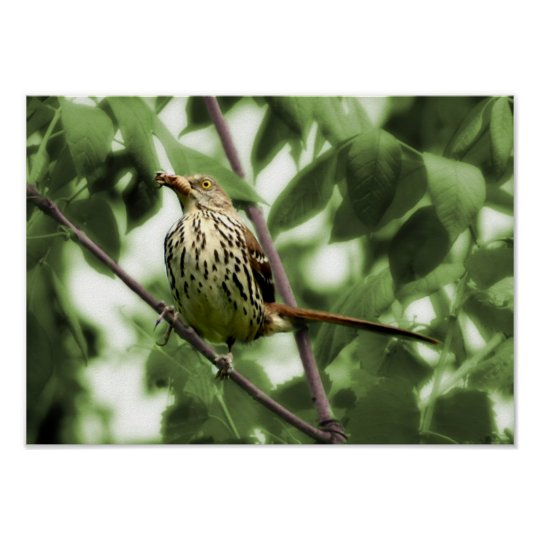 Brown Thrasher Print