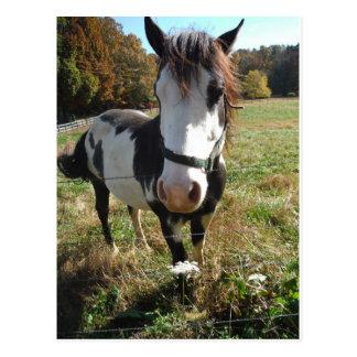 Brown &White, Painted Horse, Queen Ann Lace flower Postcard