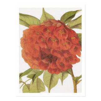 Brownea ariza postcard