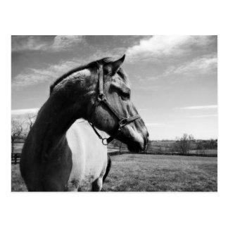 Brownstead Stallion Postcard