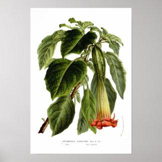 Brugmansia sanguinea (Angel's trumpet) Poster