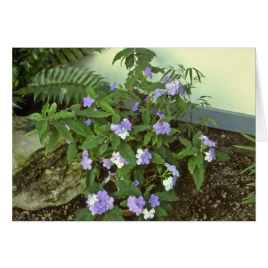 Brunfelsia Pauciflora Eximia (Yesterday, Today & T Card