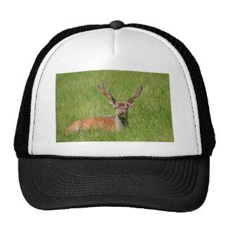 Buck fallow deer in grass trucker hat