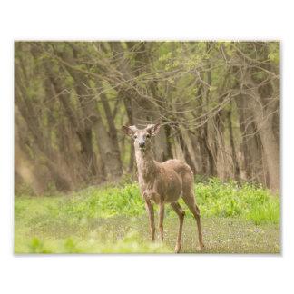 Buck in Fresh Velvet Photo Print