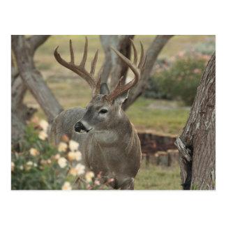 Buck Postcard