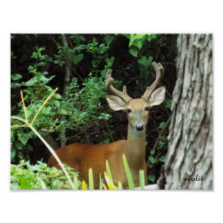 Buck White-tailed Deer Value Poster Paper (Matte)