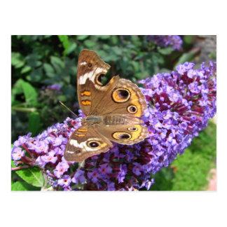 Buckeye butterfly ~ postcard
