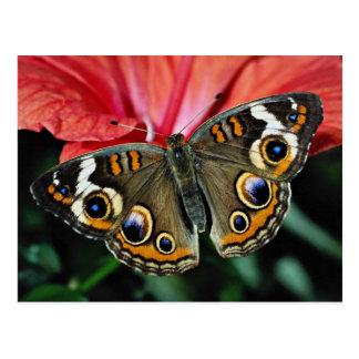 Buckeye, Junonia coenia  flowers Postcard