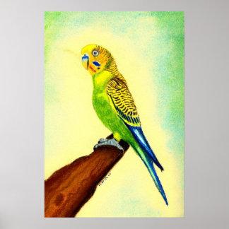 Budgie Bird Portrait Poster
