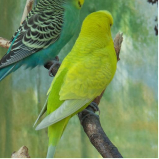 Budgie Photo Cut Out