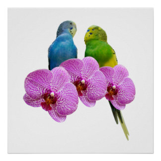 Budgie with Purple Orchid Poster