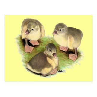 Buff Pomeranian Goslings Postcard