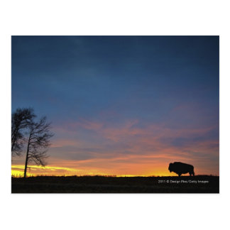 Buffalo au coucher du soleil en parc national carte postale