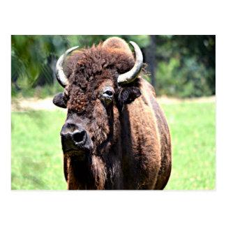 Buffalo (Bison) Postcard
