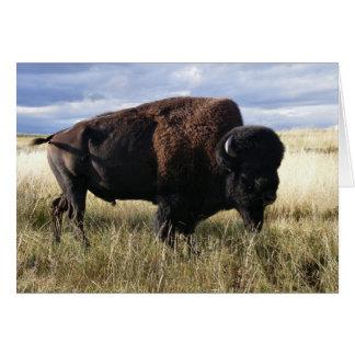 Buffalo Bull Card