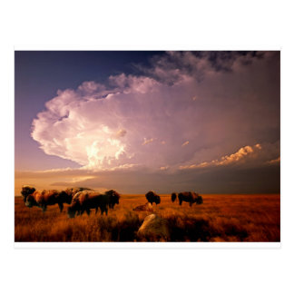 Buffalo herd postcard