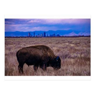 Buffalo in Denver, Colorado Postcard