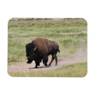 Buffalo on the move, Photography Magnet