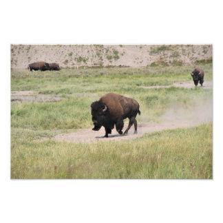 Buffalo on the move, Photography Photo Print