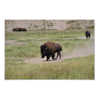 Buffalo on the move, Photography Poster