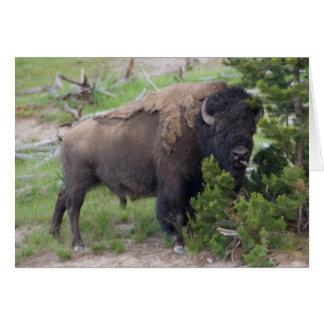 Buffalo Sticking Out Tongue Card