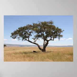 Buffalo under acacia tree poster