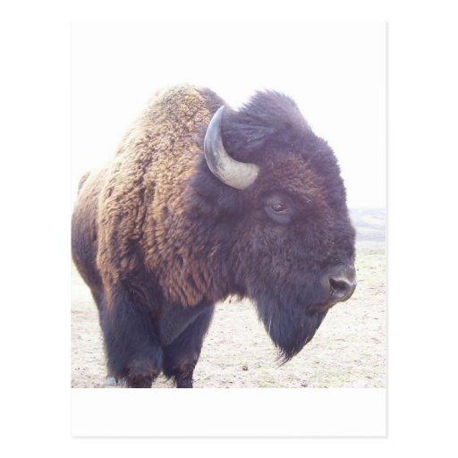 buffy the buffalo post card