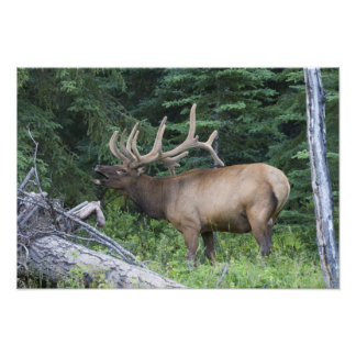 Bugling elk in Banff National Park, Canada. Photographic Print