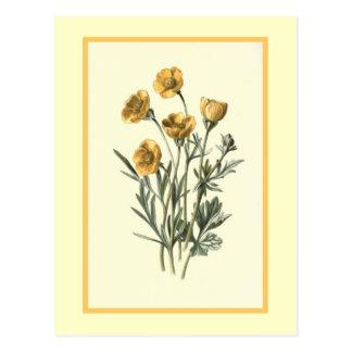 """Bulbous Crowfoot"" Botanical Illustration Postcard"