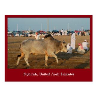 Bull at a bullfight in Fujairah, UAE Postcard