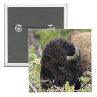 Bull Bison Resting in Forest, Yellowstone 2 Inch Square Button