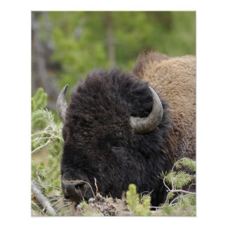 Bull Bison Resting in Forest, Yellowstone Poster