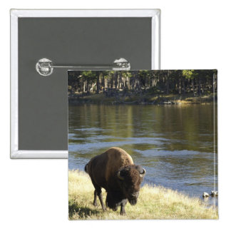 Bull Bison Walking Along River, Yellowstone 2 Inch Square Button