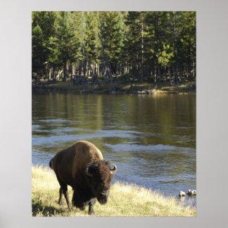 Bull Bison Walking Along River, Yellowstone Poster
