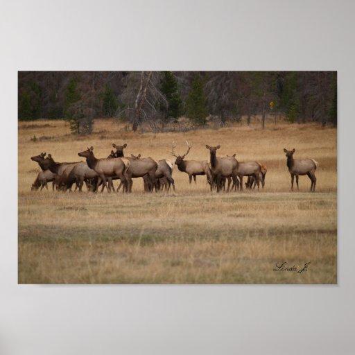 Bull Elk and His Harem Colorado USA Canvas Print