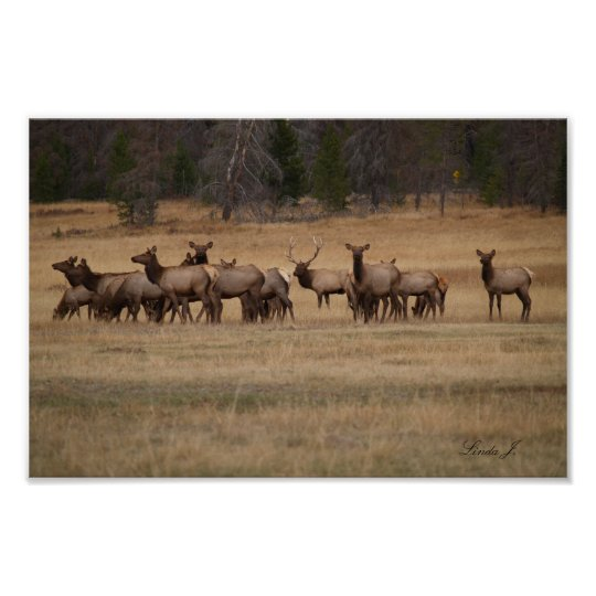 Bull Elk and His Harem Colorado USA Canvas Print