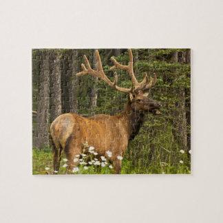Bull elk in velvet, Canada Jigsaw Puzzle
