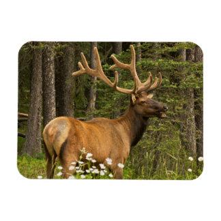 Bull elk in velvet, Canada Magnet