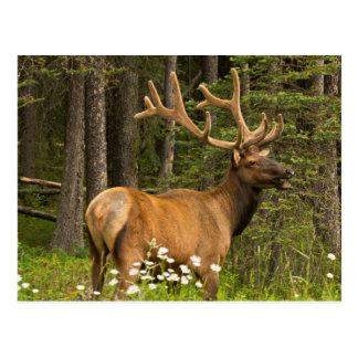 Bull elk in velvet, Canada Postcard