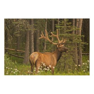 Bull elk in velvet, Canada Wood Prints