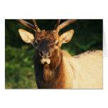 Bull Elk Note Card