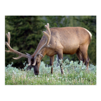 Bull Elk with antlers in velvet grazing in Postcard