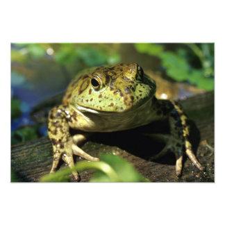 Bull frog. photo art