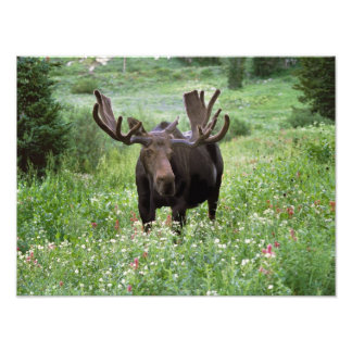 Bull moose Alces alces) in wildflowers, Photographic Print